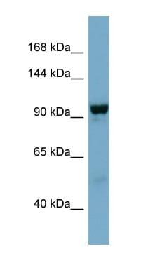 Western blot - Anti-NDST4 antibody (ab98060)