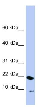 Western blot - Anti-PIN4 antibody (ab98130)