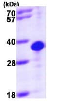 SDS-PAGE - Recombinant Human THTPA protein (ab98233)