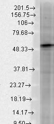 Western blot - Anti-GABA A Receptor beta 3/GABRB3 antibody [N87/25] (ab98968)