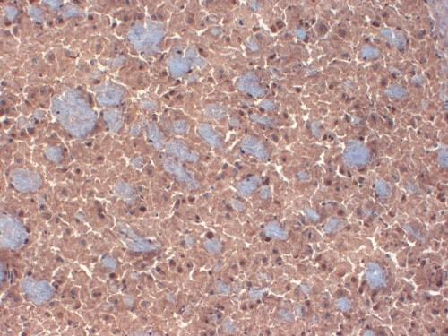 Immunohistochemistry (Frozen sections) - Anti-GABA A Receptor beta 3/GABRB3 antibody [N87/25] (ab98968)