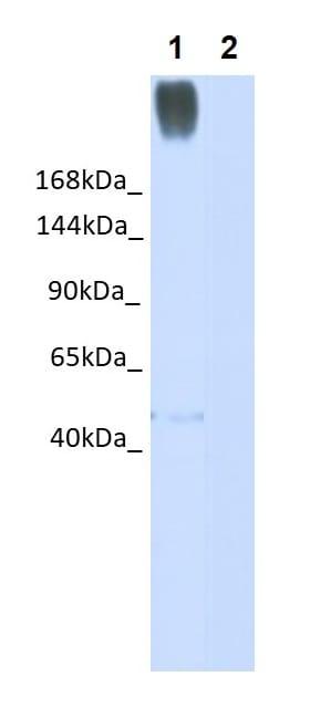 Western blot - Anti-DMBT1 antibody (ab99175)