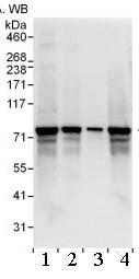 Western blot - Anti-SGT1/ECD antibody (ab99293)