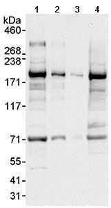 Western blot - Anti-UACA/Nucling antibody (ab99323)