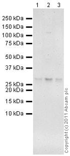 Western blot - Anti-SOSTDC1 antibody (ab99340)