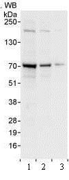 Western blot - Anti-WDR79 antibody (ab99376)