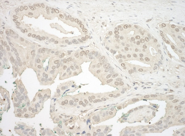 Immunohistochemistry (Formalin/PFA-fixed paraffin-embedded sections) - Anti-NFATC4 antibody (ab99431)