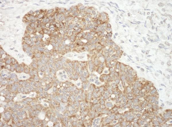 Immunohistochemistry (Formalin/PFA-fixed paraffin-embedded sections) - Anti-AIF antibody (ab99437)