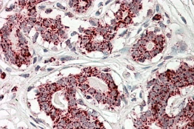 Immunohistochemistry (Formalin/PFA-fixed paraffin-embedded sections) - Anti-Aconitase 2 antibody (ab99467)
