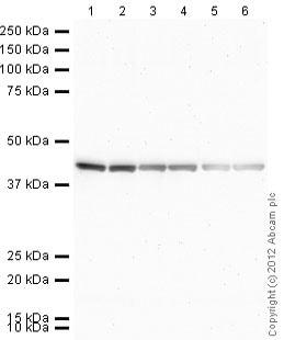 Western blot - Rat monoclonal [H139-52.1] Anti-Mouse kappa light chain (Alkaline Phosphatase) (ab99631)