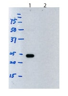Western blot - Rat monoclonal [H139-52.1] Anti-Mouse kappa light chain (HRP) (ab99632)
