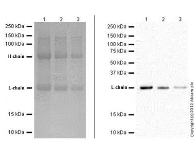 Western blot - Mouse monoclonal [SB62a] Anti-Rabbit IgG light chain (Alkaline Phosphatase) (ab99696)