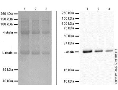 Western blot - Mouse monoclonal [SB62a] Anti-Rabbit IgG light chain (HRP) (ab99697)