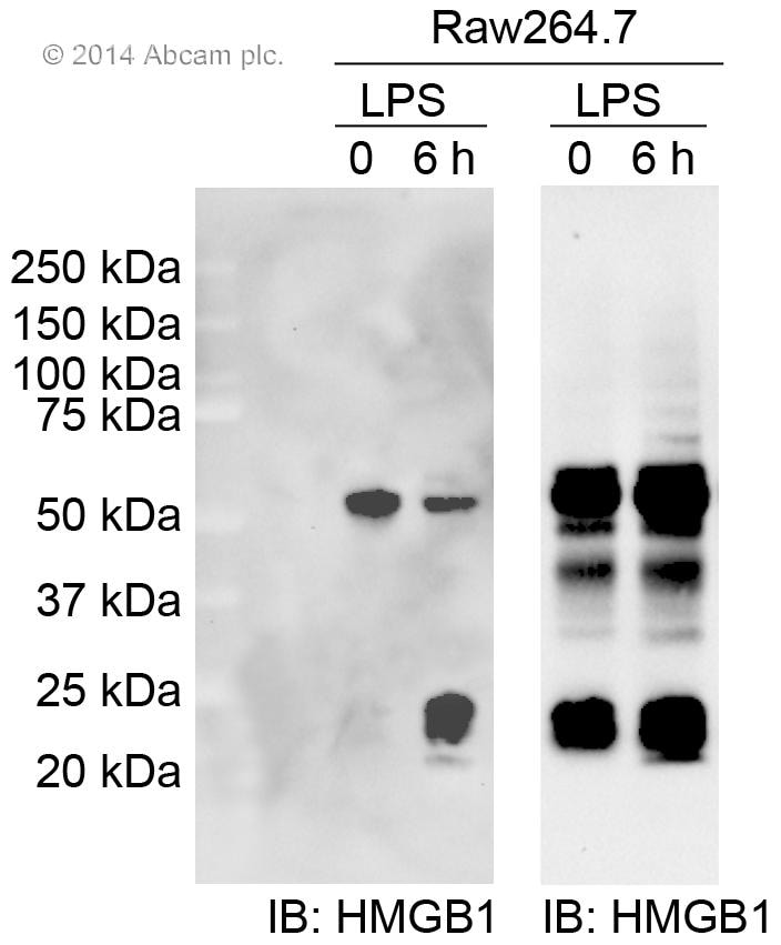Western blot - Mouse monoclonal [2A9] Anti-Rabbit IgG heavy chain (HRP) (ab99702)
